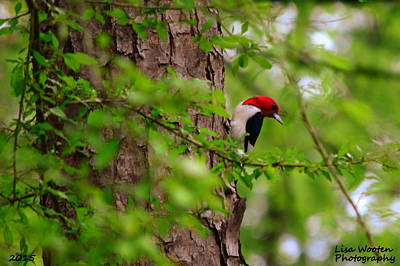 Woodpecker Photograph - A True Red Head by Lisa Wooten