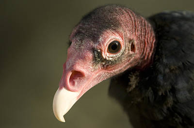 Henry Doorly Zoo Photograph - A Turkey Vulture At The Henry Doorly by Joel Sartore