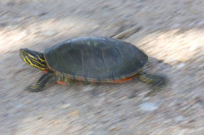 Gravel Road Photograph - A Turtle In Burwell, Ne by Joel Sartore