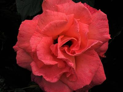Photograph - A Valentine Rose by Nancy Pauling