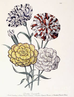 Carnation Drawing - A Variety Of Carnations by Jane Loudon