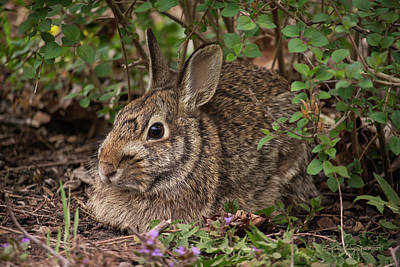 Photograph - A Very Fine Bunny Resting Under The Lilac Bush by Karen Casey-Smith