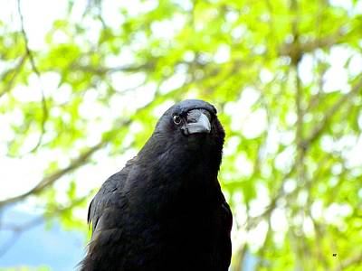 Photograph - A Very Tame Crow by Will Borden