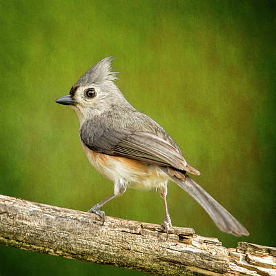 Tufted Titmouse Photograph - A Visit From Tufty by Bill Tiepelman
