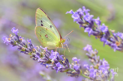 Photograph - A Visitor To The Lavender by Kerri Farley