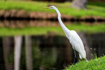 Photograph - A Waiting Egret by Willie Harper