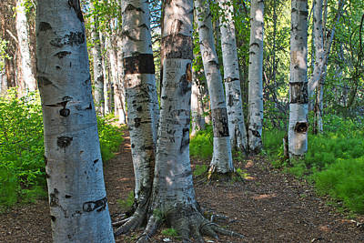 Photograph - A Walk Among The Birches by Cathy Mahnke