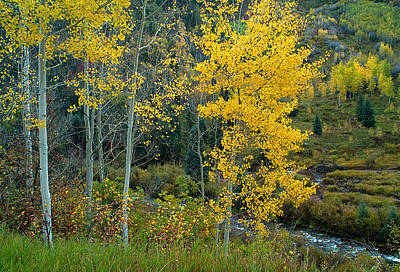 A Walk In The Aspen Forest Art Print by Tim Reaves