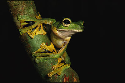 A Wallaces Flying Frog Art Print by Tim Laman