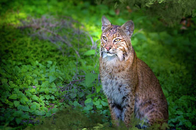 Bobcats Photograph - A Watchful Eye by Mark Andrew Thomas