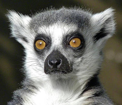 Photograph - A Watchful Ring-tailed Lemur by Margaret Saheed