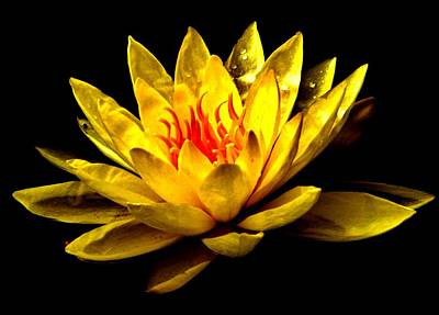A Water Lily Art Print