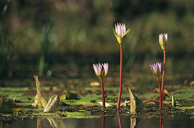 Water And Plants Photograph - A Water Lily Flower Emerging by Klaus Nigge