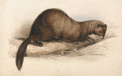 Drawing - A Weasel by Edward Lear