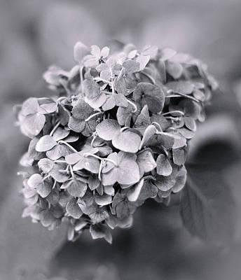 Photograph - Hydrangea by Elvira Pinkhas
