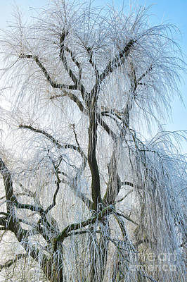 A Weeping Winter Willow  Art Print