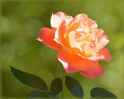 Art Print featuring the photograph A Well Lighted Rose by AJ Schibig