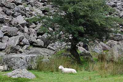 Photograph - A Welsh Lamb Of God by Dianne Levy