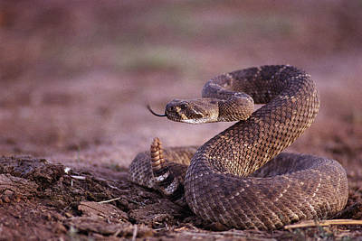 Southwestern States Photograph - A Western Diamondback Rattlesnake by Joel Sartore