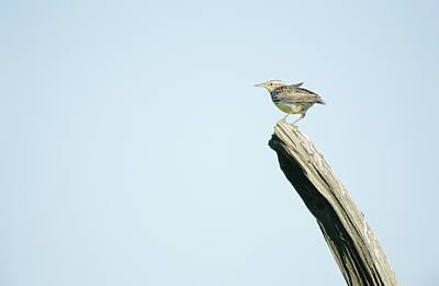 Meadowlark Wall Art - Photograph - A Western Meadowlark Sits On A Piece by Joel Sartore