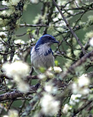 Photograph - A Western Scrub Jay In Dragonfly Forest #1 by Ben Upham III
