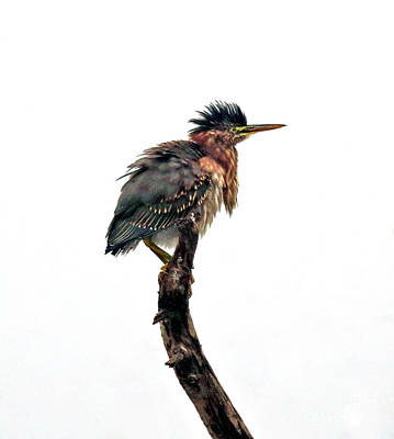Photograph - A Wet Green Heron by Elizabeth Winter