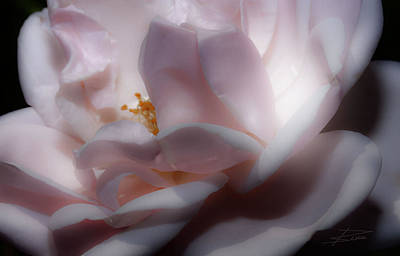 Photograph - A Whisper Of Pink by Barbara  White
