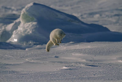 Arctic Fox Photograph - A White Arctic Fox, Alopex Lagopus by Norbert Rosing