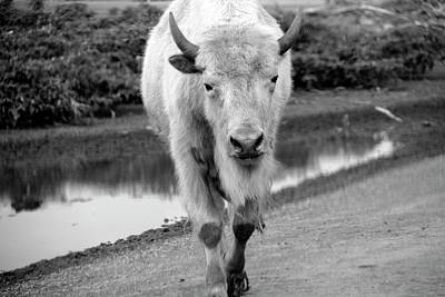 Photograph - A White Bison In Black And White by Angela Murdock