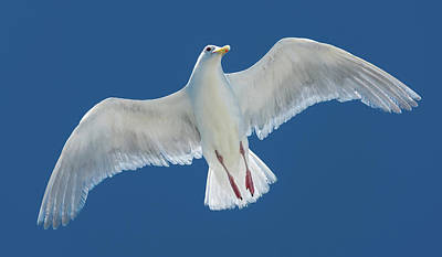 Photograph - A White Gull Flying In Sky by William Lee