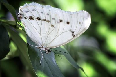 Photograph - A White Morpho Butterfly  by Saija  Lehtonen