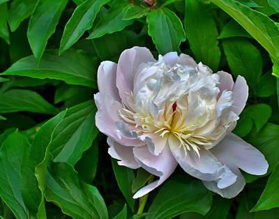 Photograph - A White Peony by Robert Brown