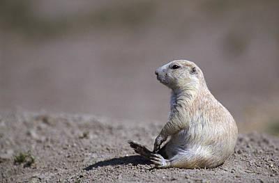 Prairie Dogs Photograph - A White Prairie Dog Demonstrates Bad by Joel Sartore