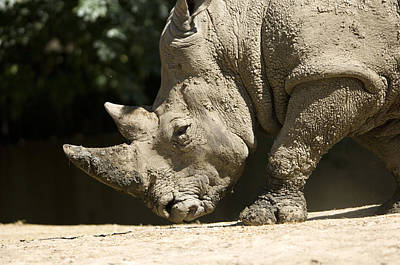 A White Rhino Sniffs The Dust Art Print by Joel Sartore