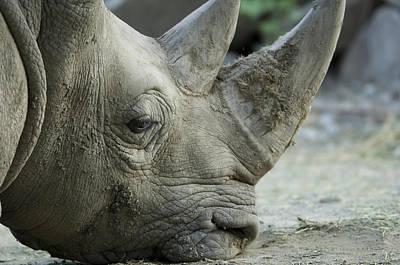 A White Rhino Sniffs The Muddy Ground Art Print by Joel Sartore