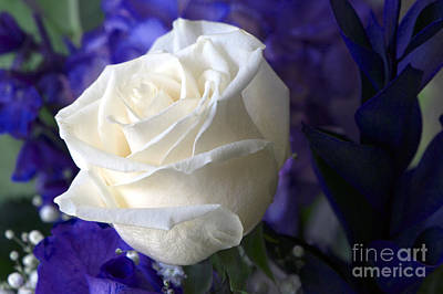 A White Rose Art Print by Sharon Talson