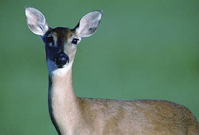 A White-tailed Deer On The Prairie Art Print by Joel Sartore