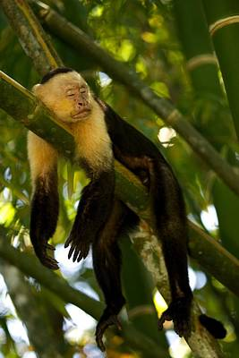 A White-throated Capuchin Monkey Print by Roy Toft