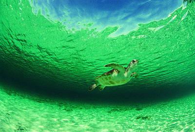 Green Sea Turtle Photograph - A Wild Green Sea Turtle Chelonia Mydas by Bill Curtsinger