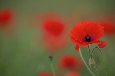 Photograph - A Wild Poppy by Peter Walkden