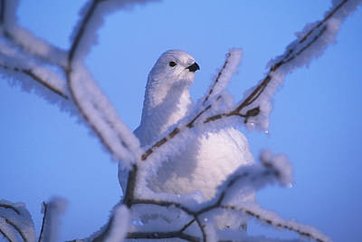 Northwest Territories Photograph - A Willow Ptarmigan by Nick Norman