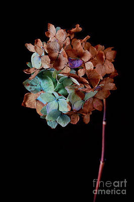 Dried Hydrangeas Photograph - Winter Hydrangea by Masako Metz