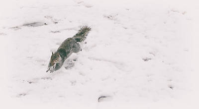 Funny Squirrel Photograph - A Winters Jump by Martin Newman
