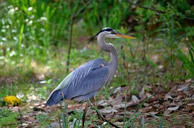 Photograph - A Woodland Walk With The Blue Heron by Maria Urso