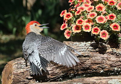 Photograph - A Woodpecker Conversation by Sheila Brown