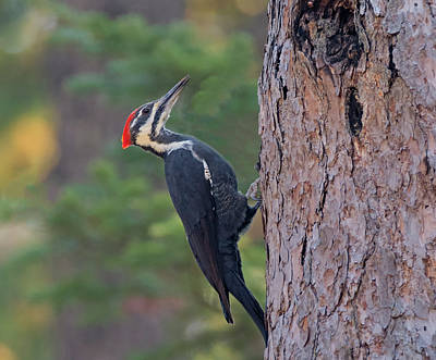 Photograph - A Woodpecker's Work Is Never Done by Loree Johnson
