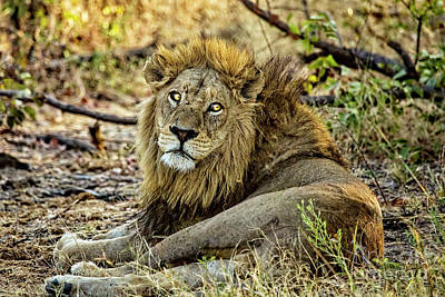 Photograph - A Wounded Lion by Kay Brewer