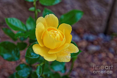 Photograph - A Yellow Rose by Paul Mashburn