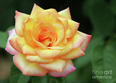 Photograph - A Yellow Rose by Sabrina L Ryan