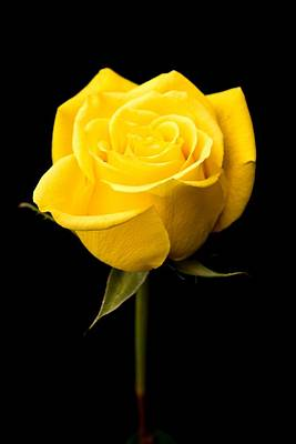 Photograph - A Yellow Rose by Willie Harper